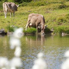 Schweizer Kuh trinkt an einem Bergsee