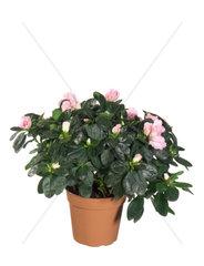 Zimmerazalee  Zimmer-Azalee  Indische Azalee  Japanische Azalee  Topf-Pflanze  Topfpflanze  Rhododendron simsii  Azalea  Formosa Azalea  Sim's Azalea