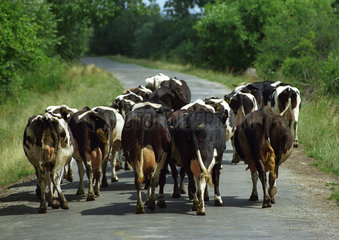 Hinteransicht einer Kuhherde  Polen