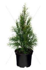 Abendlaendischer Lebensbaum  Thuja occidentalis  yellow cedar  eastern white cedar