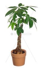 Glueckskastanie  Gluecks-Kastanie  Pachira aquatica  Provision Tree