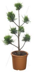 Pompon-Zypresse  Cupressus spec.  Pompon Cypress