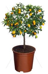 Calamondin  Orangenbaeumchen  Citrus microcarpa  Citrus x microcapra  Citrus mitis  Calamondin  Calomondin