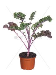 Gruenkohl  Brassica oleracea var. sabellica  Brassica oleracea convar. acephala var. sabellica  kale