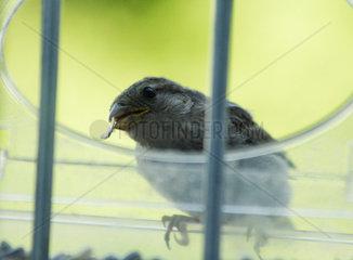 Spatz (Passer domesticus)  weiblicher Vogel bei der Sommerfuetterung mit Futter im Schnabel