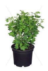 Stachelbeere  Ribes uva-crispa  wild gooseberry  European gooseberry