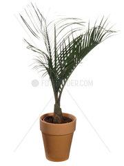 Dreieckspalme  Dreiecks-Palme  Dypsis decaryi  Neodypsis decaryi  triangle palm