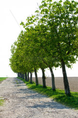 Baumreihe am Weg