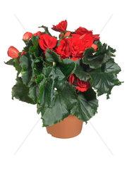 Zimmerbegonie  Zimmer-Begonie  Begonie  Schiefblatt  Elatiorbegonien  Elatior-Begonie  Blueten-Begonie  Begonia elatior-Hybriden  Begonia