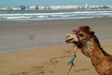 Marokko: Kamel am Strand von Essaouira