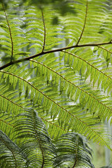 Mimosa branches  full frame