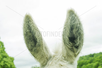 Donkey's ears