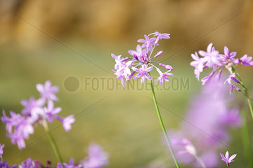 Garlic flowers