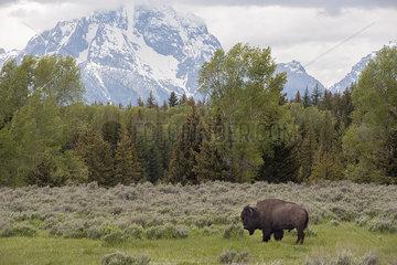 Buffalo (American bison) grazing in Grand Teton National Park  Wyoming  USA