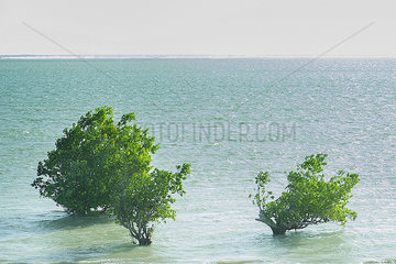 Mangroves growing in sea  Madagascar