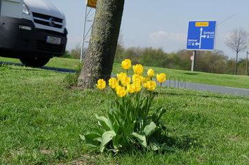 Tulpen an der Autobahn