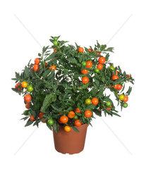 Korallenbaum. Korallenbaeumchen  Solanum pseudo-capsicum  Solanum pseudocapsicum  jerusalem cherry