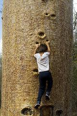 Boy climbing baobab tree