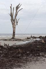 Dead tree on beach  Jekyll Island  Georgia  USA