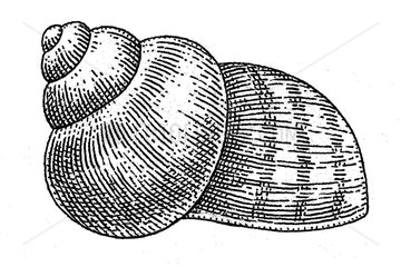 Serie Schalenweichtiere Muschel 4