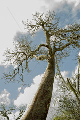 Baobab tree  low angle view