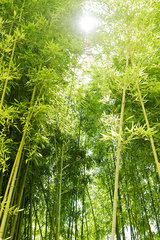 Sunlight shining through bamboo
