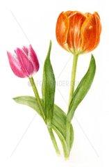 2 Tulpe