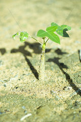 Baobab tree seedling