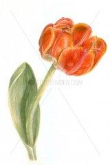 1 Tulpe