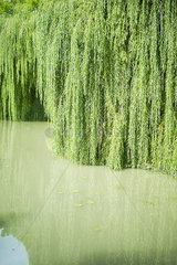 Willow growing in water
