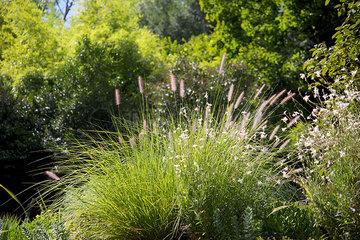 Ornamental grass in garden