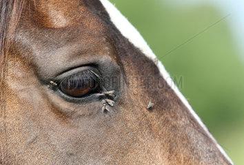 Graditz  Deutschland  Fliegen am Auge eines Pferdes