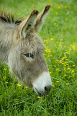 Donkey grazing in pasture  close-up