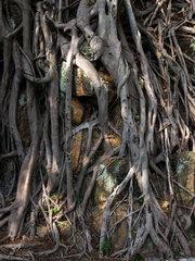 Hongkong  China  Wurzeln eines Baumes auf Cheung Chau Island