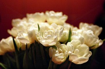 Ein Strauss weisser Tulpen