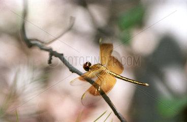 Australien: Libelle im Kakadu National Park