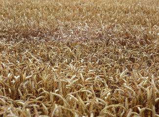 Bad Doberan  Detailaufnahme eines Kornfeldes