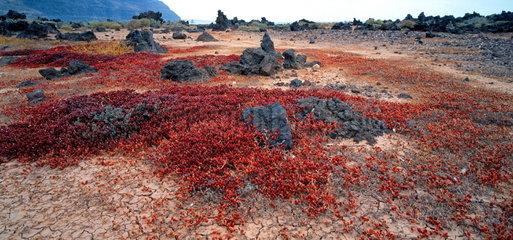 Landschaft mit Mittagsblumengew__chs auf Lanzarote