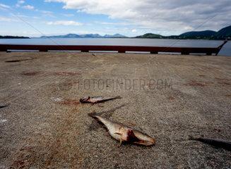 Stokmarknes  Norwegen  tote Fische
