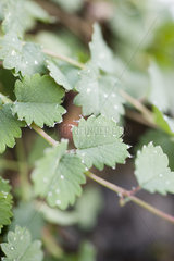Dew drops on toothed green leaves of Salad Burnet (Sanguisorba minor)  close up