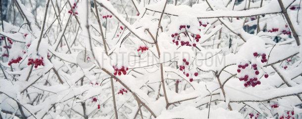 Rote Beeren unter einer Schneehaube