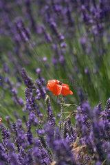 Joucas  Frankreich  ein bluehendes Lavendelfeld mit einem Klatschmohn