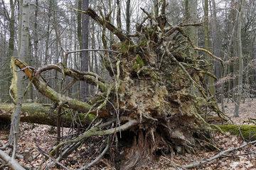 Wurzelwerk eines umgestuerzten Baumes