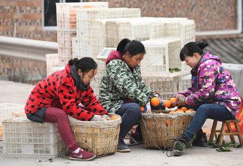 CHINA-CHONGQING-FENGJIE-NAVEL ORANGE (CN)