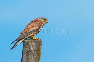Turmfalke (Falco tinnunculus) Common Kestrel  male