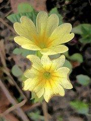 Primel Spring Flowers