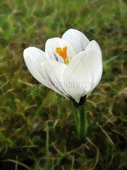Krokus Crocus versicolor