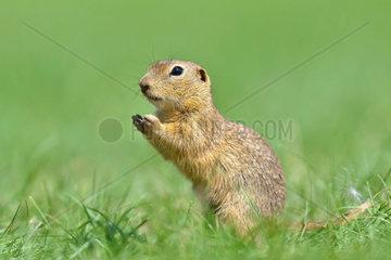 Ziesel (Spermophilus citellus) European ground squirrel