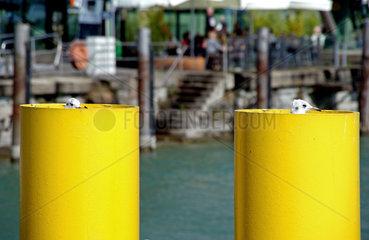 Moewen am Hafenbecken von Friedrichshafen