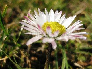 Gaensebluemchen Daisy Bellis Perennis